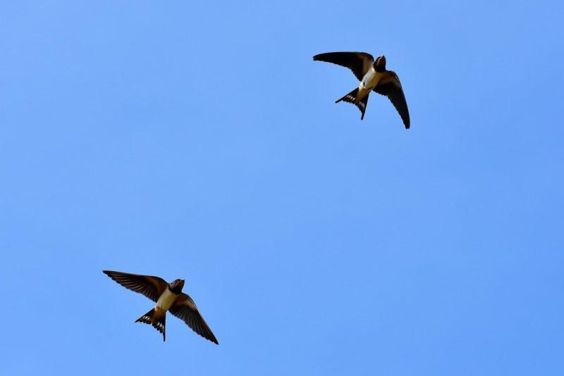 tutela della biodiversità - rondini in cielo